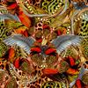 Butterfly Leopard (Original)